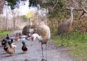 Sand Hill Cranes at Reifel Bird Sanctuary